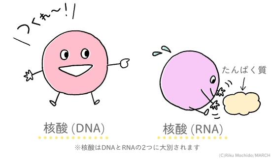 葉酸は核酸を作り出す大切なもの